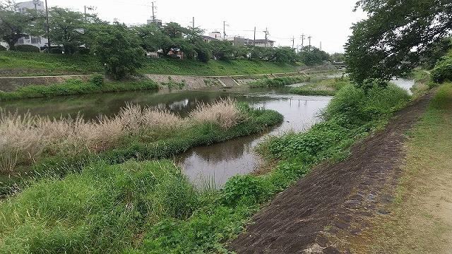 高野川の鹿 2020.06.18